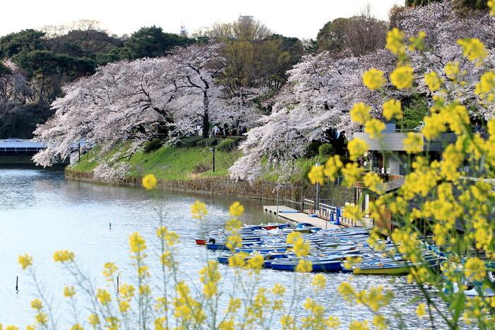言わずと知れた桜の名所、千鳥ヶ淵緑道。700mもの長さがあり、左右から桜が覆い被さってくるような景色は圧巻です!遊歩道を散歩しながら、ボートを漕ぎながら、桜を思う存分楽しめますよ。