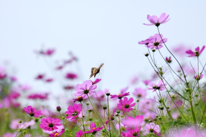 広大な花畑が広がる「花の丘」には、春にポピー、秋にコスモスが咲き誇ります。晴れた日には、青い空と花の鮮やかな色のコントラストがとても美しいですよ!遠くまで見渡せる気持ちの良い場所です。