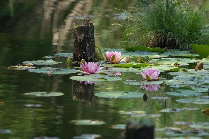 善福寺池は2つに分かれていて、上の池には白い睡蓮、下の池にはピンクの睡蓮が咲きます。モネの睡蓮を彷彿とさせる美しい景色を楽しめます。6月から8月頃までが見頃ですよ。