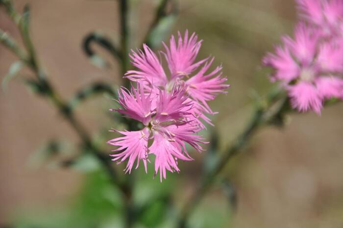 淡い紅色が可憐な撫子の花。「枕草子」の中で清少納言は、その美しさは草花の中で第1級品であると記しているほど。昔の人は、この繊細な花弁に慎ましい女性を思い浮かべたのでしょうか?