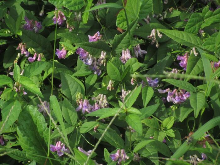 葛の花はつる性で、夏の終わりから秋にかけて紫色の花が穂のように咲きます。生命力が強く、ひと夏で10メートルもつるが伸びることも。その力強さから「芯の強さ」「活力」「根気」といった花言葉がつけられたと言われています。