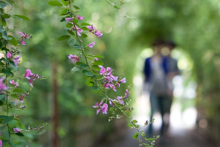 赤紫色の小さなお花が萩の花です。秋のお彼岸にお供えする「おはぎ」の由来にもなっていて、秋を代表するお花のひとつ。花言葉は「思案」「想い」「前向きな恋」「柔軟な精神」など。冬には葉を落とし、春になると再び芽を出して毎年美しい姿を見せてくれます。