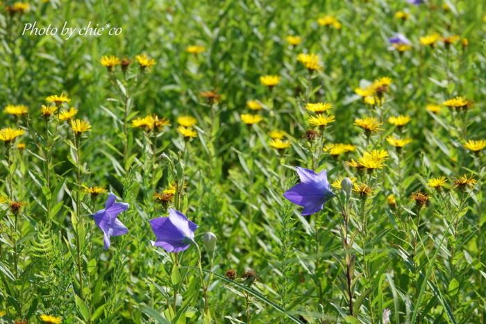 標高が650メートルほどあるので秋の訪れも早く、8月に入ると秋の花が咲き始める年も。都心は猛暑でも、ここではひと足早く秋を感じられますね。