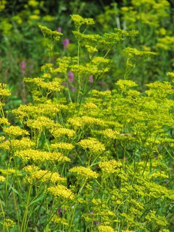 関越道の東松山I.C.から10分ほどのところにある「国営武蔵丘陵森林公園」は、広大な丘陵地に池沼、湿地、草地など多様な環境が造られていて、貴重な動植物が生育しています。秋の七草のひとつである【女郎花】も、美しい花を咲かせていますよ。