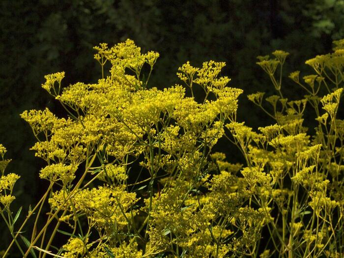 """野草コースには、「女郎花」が約200株も咲いています。見ごろが8月下旬から9月半ばごろまでと長く楽しめるのも魅力です。""""花の美しさが美女を圧倒する""""という意味で名づけられたと言われるほど、優雅で美しく咲きほこる鮮やかな黄色に圧倒されます。"""