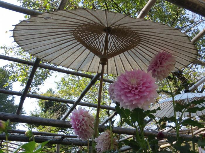 【「上野東照宮」の『ぼたん苑』は、冬と春の牡丹の開花期と、秋のダリアの開花期にのみ開苑する。入苑は有料だが、種々様々のボタンやダリアが咲き誇るので、花好きの人にお勧めのスポット。(ダリアが見頃の秋の苑内)】