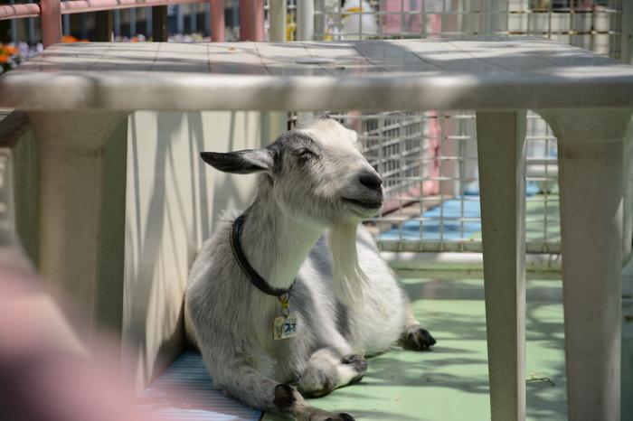 ふれあいコーナーでは、モルモットやウサギ、ヒツジやヤギなどの動物たちとふれあえます。ふわふわの毛並みや体温が伝わってきて、顔も心もとろけちゃいますよ♪