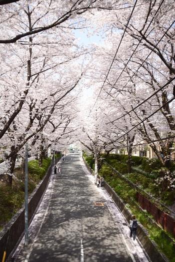 見事な桜並木は、ぜひ満開を狙っていきたいですね。ぜひ「桜坂」を聞きながらのんびりお花見を楽しみましょう。