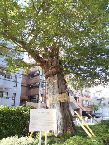 樹齢400年、東京大空襲によって欠損しながらも生き続けている善光寺坂のムクノキは、東京の文化遺産にも登録されています。江戸初期から残る歴史の生き証人を目の前に、あなたは何を感じますか?