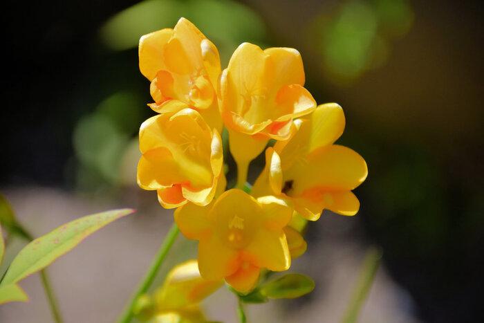 """春から夏にかけて愛らしい花を咲かせるフリージア。「友情」や「親愛」といった意味を持つフリージアは、大切なご友人やご家族に贈る花としてもおすすめ。色ごとにも意味がありますが、どの色もポジティブな意味ばかりなので、お相手のイメージに合わせて選ぶのも素敵です。 また、フリージアは香りがとても豊かで、""""天然の香水""""とも呼ばれるほど。白色は甘め、黄色はフルーティなど、色によっても香りが違うので、ぜひお花屋さんで確かめてみてください。"""
