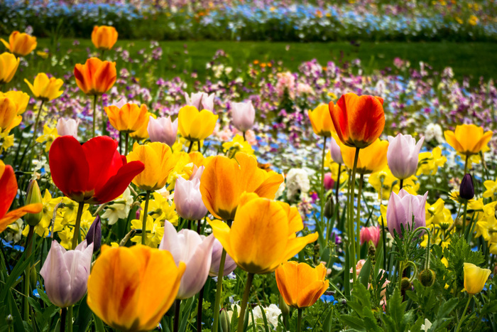 """チューリップは、コロンとした丸みや鮮やかな色合いがなんとも可愛らしく、幅広い年齢層に愛される花ですよね。色によって様々ですが、""""愛""""といった意味が多いチューリップ。思いを込めて恋人に花束を贈ったり、お子様の学校の持ち物などに取り入れてみてはいかがしょう。 球根付きのチューリップは、しっかり手入れすることで毎年花が咲くので、ガーデニング好きの方にももちろんおすすめです。"""