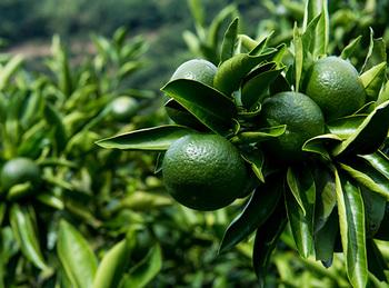 温州みかん果皮の香り成分のリモネンやテルピネンなどには、リラックス効果もあるので、柑橘系の香り漂うリラックスしたバスタイムを楽しめそう。