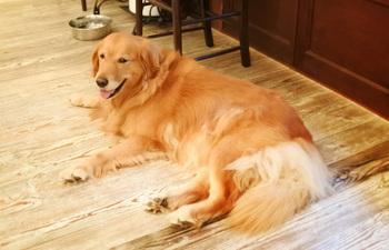 Moineauの店長はゴールデンレトリバーのイルちゃんです♪優しい顔立ちと大人しい性格でお客さんに愛されています。寝ていることもありますが、起きている時は店員さんに声をかけると触らせてもらえます。犬好きは心を持って行かれてしまいますよ!