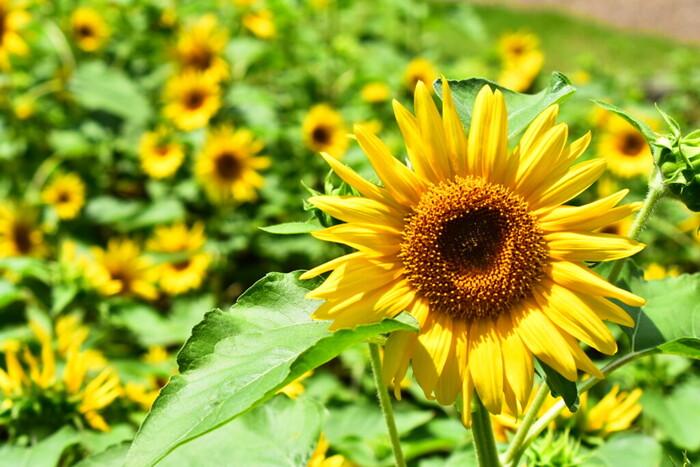 「太陽の花」とも呼ばれるヒマワリは、見ているだけで心が晴れやかになりますね。空間を明るくしてくれる花姿は、まさに贈り物にぴったりです。1輪だけでも花が大きいヒマワリは、花束だと華やぎますが、大きい花瓶を持っていない方には管理しづらいこともあるので、本数は多過ぎないのがおすすめ。または、ヒマワリモチーフの雑貨なども多く出回っているのでチェックしてみてください。