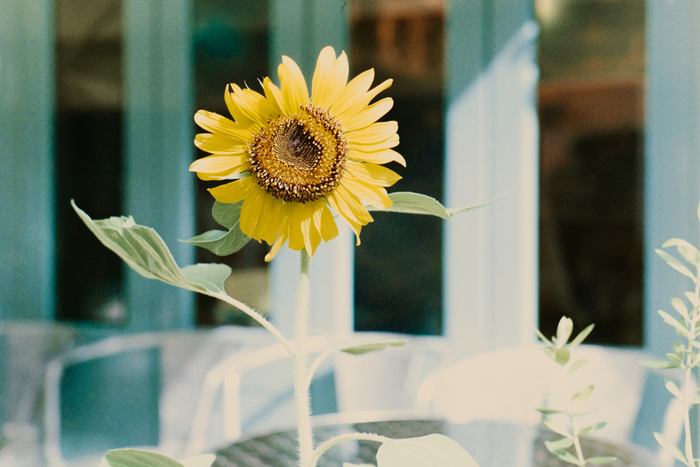 【開花時期】 6月~8月  【花言葉】 私はあなただけを見つめる、愛慕、崇拝