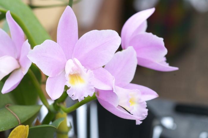大きな花びらとフリルのような花びらが優美なカトレアは、「洋ランの女王」とも呼ばれるほど格調高い雰囲気を纏った花。その姿から、「優雅」「魅惑的」と言った大人っぽく妖艶な花言葉を持つのも魅力です。大きく立派な花を咲かせますが、淡く優しい色合いで上品な華やかさがあるのが特徴です。 数本でも存在感がありますし、その大きさを活かせば豪華な花束を作ることも出来ますよ。