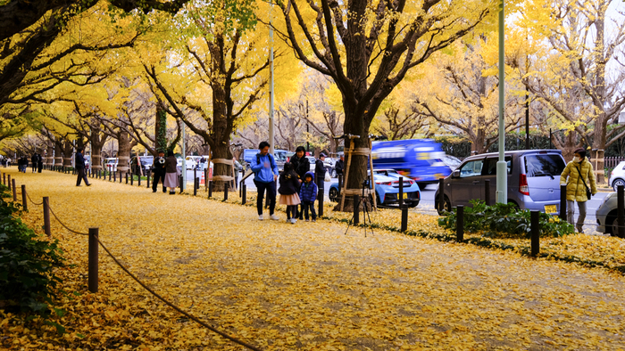 道路の両側に並ぶイチョウの木は146本。ひらひらと舞い落ちるイチョウの葉っぱが敷き詰められた歩道は、黄金色のじゅうたんのようですね。