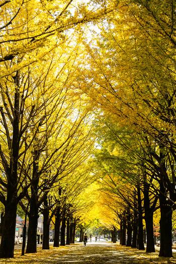 都営地下鉄大江戸線の光が丘駅から歩いて10分ほどのところにある光が丘公園では、樹齢100年を超えるイチョウの並木道を見ることができます。