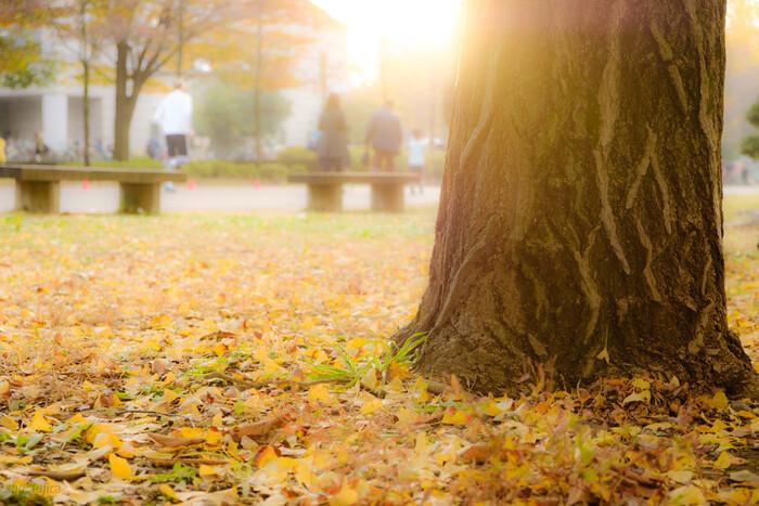 並木道にあるイチョウは、もともと有楽町の旧都庁舎前に街路樹として植えられていたのですが、工事のために移植されました。太い幹が立派で力強さを感じます。