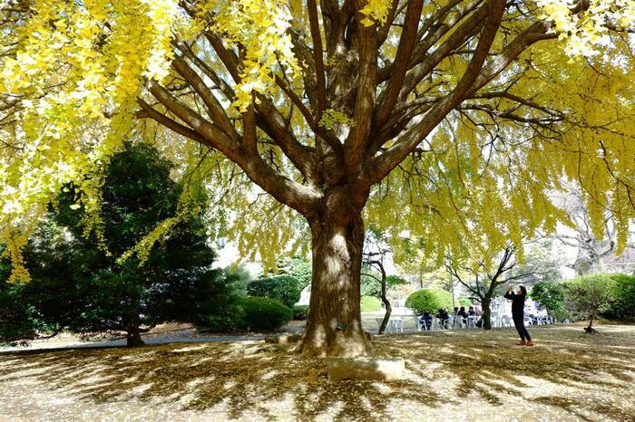 """上野公園は、今もなお、江戸期から連綿と継がれてきた""""上野の山""""への深い思いと共に、豊かな自然環境が維持されています。  【広大な敷地を誇る「東京国立博物館」は、所蔵品や建物だけでなく、外部の木々や庭園も見所。庭園散策を目的に入場するのもお勧め。(東博「表慶館」付近の大イチョウ)】"""