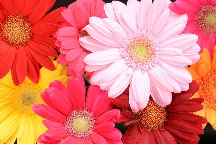 「希望」「前進」といった前向きな花言葉が多いのは、明るい花が多く陽気な印象が強いからと言われています。 ビビッド色からパステル色まで色が豊富で、咲き方も様々。なんと品種は約2,000種あると言われていて、色形様々な花を混ぜれば華やかな花束が作ることが出来ます。選ぶのも楽しいですし、見ているだけで明るくなれる花です。