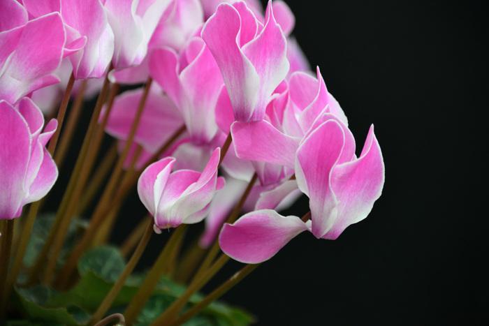 シクラメンの花びらは上を向いていますが、実は向きは下向き。雨から花粉を守るために下向きに咲く様子が、恥じらっているように見えることから「内気」「はにかみ」といった可愛らしい花言葉が付けられたそうです。花が少ない冬にも、鮮やかなグラデーションで咲き誇ってくれるシクラメン。寒い日にも心をほっこり温めてくれそうです。シクラメンの花束は少なく、鉢植えでの贈り物が一般的です。