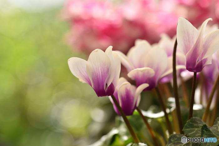 【開花時期】 周年(最盛期は8~10月)  【色の種類】 赤、ピンク、白、青、紫、黄、オレンジ、複色など  【花言葉】 内気、はにかみ、清純、きずな、愛情、思いやり、緻密な判断