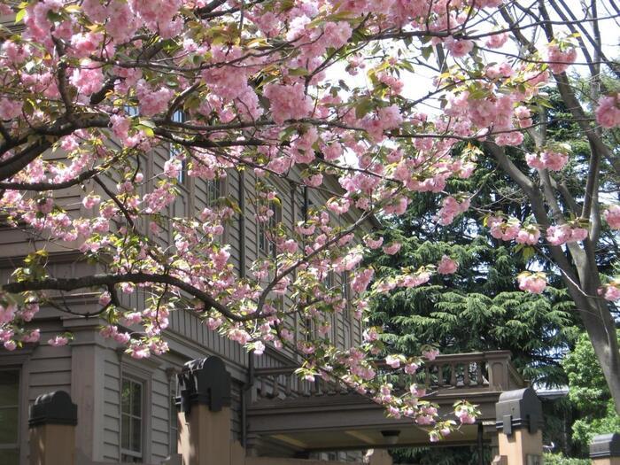 """といっても「上野公園」は、明治初期から現在まで穏やかで充実した自然環境が保たれていた訳ではありません。関東大震災や第二次世界大戦等など、様々な困難、紆余曲折を経て、その度に、地元の人々の惜しみない尽力によって、""""上野の山""""の自然景観は取り戻され、桜は植え継がれて、再生してきたのです。  【八重桜が満開の「旧東京音楽学校奏楽堂(重文)」。奏楽堂は、滝廉太郎等、多くの音楽家を輩出した東京藝術大学音楽学部の前身「東京音楽学校」の校舎(明治23/1890年建造)。かつては、藝大敷地内にあったが、老朽化により台東区が譲り受け、上野公園内の現在地へと移築、復元し、一般公開された。平成25年から再補修され、平成30年11月にリニューアルオープンしている。】"""