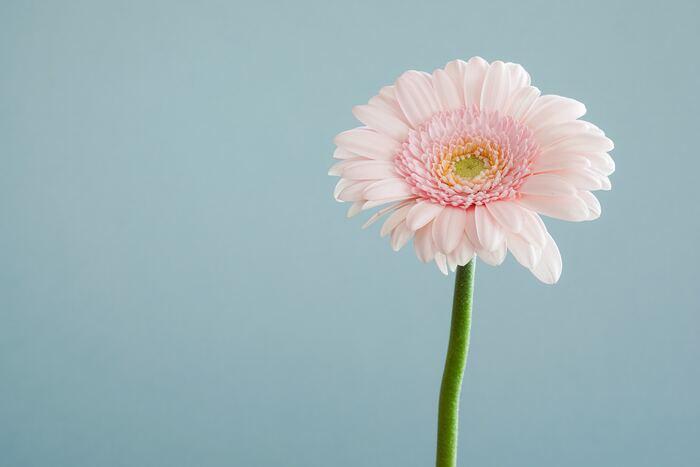 【開花時期】 周年(最盛期は4月~10月)  【色の種類】 赤、ピンク、白、黄、オレンジ、緑、青、紫など  【花言葉】 全般:希望、常に前進 ピンク:崇高美 白色:希望、律儀 赤色:神秘 黄色:究極美、親しみやすい オレンジ:我慢強さ