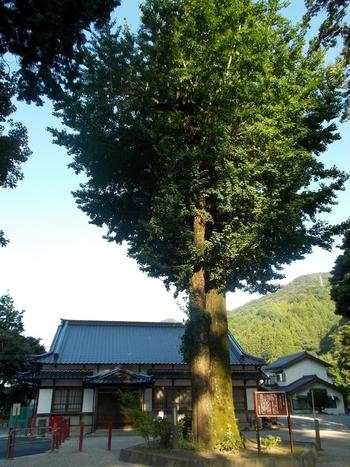 足助神社の敷地内には、指定天然記念物でもある巨大なイチョウの木が悠然と立っています。紅葉の季節になると美しく色づき、紅葉とのコントラストを楽しめます。