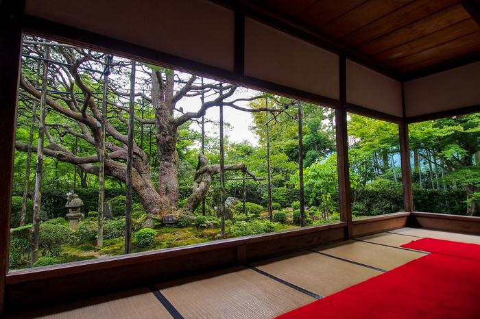 額縁庭園と共に宝泉院の見どころとなっているのが「五葉の松」。樹齢700年で、京都の天然記念物に指定されています。
