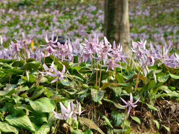 香嵐渓では、紅葉だけではなく四季折々の景色を楽しむことができます。中でも片栗粉の元でもある「カタクリの花」の群生地があるため、3月頃になると可憐なうす紫色の花が咲き誇る景色が見られます。カタクリの花の群生地日本でも数少なくなっているため、大変貴重です。