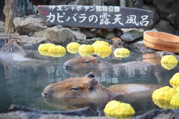 東伊豆のシンボル、大室山のふもとにある「伊豆シャボテン動物公園」は、その名のとおりサボテンと動物に出合えるスポット。冬季限定の「カピバラの露天風呂」では、気持ちよさそうにお風呂に浸かる姿に癒されます。