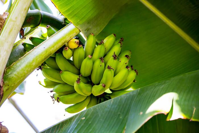 温泉熱で育ったバナナは約20種類ほど。普段なじみのある食用のものから鑑賞用のものまでさまざま。ぜひ木になってる様子を見てみてくださいね。