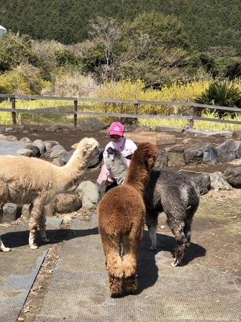 アルパカ牧場で、モフモフとした毛並みにタッチすることも。一部の動物は道路を挟んだ反対側「プレイゾーン」にいるので、ぜひそちらにも足を運んでみてくださいね。