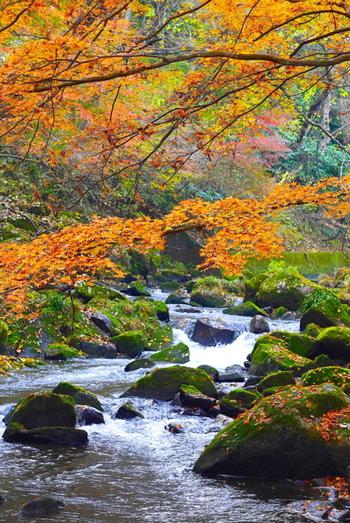 紅葉と滝や吊橋との美しい共演を見られるスポット。せせらぎを聞きながら、自然の中をハイキングするのは気持ち良いですよ♪見頃は11月中旬から下旬頃です。
