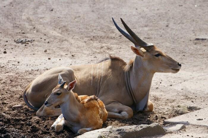 稲取にある「伊豆アニマルキングダム」は、動物園と遊園地の複合施設。今回は、その中でも「アニマルゾーン」をご紹介します。アニマルゾーンをぐるっと囲む「ウォーキングサファリ」では、野生に近い環境で自由に過ごす動物たちを間近に見ることができます。ここにはサイやシマウマ、ムフロンなどの草食動物たちが放し飼い。まるで動物の群れの中を歩いているような感覚になれますよ。
