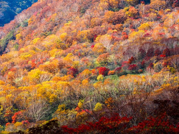 観光スポットが集結していて、自然が豊かな那須。四季折々の魅力があるエリアです。特におすすめなのが紅葉の時期で、山肌のキャンバスにモミジやナナカマドなどが彩ります。場所にもよりますが、9月下旬から徐々に紅葉が始まり、10月いっぱいは見頃ですよ。
