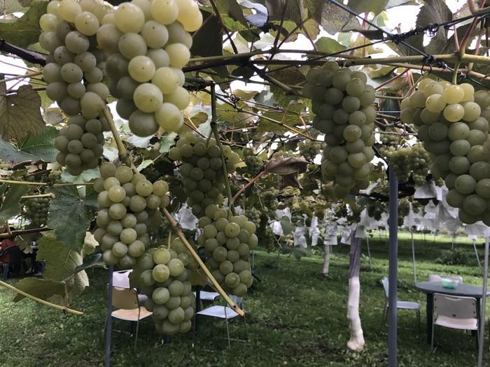 みはらしファームの「収穫体験」は、季節によって違う楽しみ方ができる人気の施設です。冬~春にはイチゴ、夏はブルーベリー、秋はリンゴやぶどうの収穫が楽しめます。もちろん、その場でもぎたてフルーツをたっぷり食べられます。  また、果物だけではなく「アスパラ」や「スイートコーン」などの野菜収穫もあり、ここだけの大変レアな体験ができます。