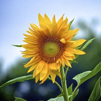 オレイン酸やビタミンEを多く含み日常使いに助かるのが、ひまわりの種からできたひまわり油。