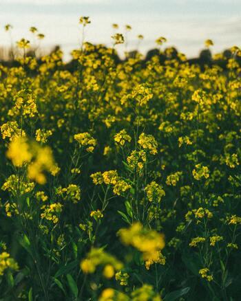 菜の種から作られているなたね油と、その一種であるキャノーラ油は、一般家庭で親しまれている最も大衆的な油です。 精製されたものは青臭さが無く、素材の味を邪魔しません。