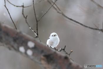 釧路湿原には、雪の妖精と呼ばれているシマエナガも生息しています。寒いほど白くふっくらと羽が生えるというその姿は、出会うと幸せな気持ちになれそうです。
