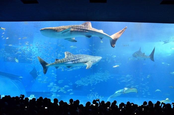沖縄の美ら海を次の世代へ…  神秘的な沖縄の生きものたちの雄大な世界を覗けるのが沖縄県にある「美ら海水族館」。大迫力の巨大水槽「黒潮の海」には、世界最大の魚ジンベエザメや、世界初の繁殖に成功したナンヨウマンタが悠々と泳ぎ、感動的な光景が目の前に広がります。  水槽を支える巨大アクリルパネルは、なんと高さ8.2m、幅22.5m、厚さ60cm。世界最大級と言われる圧巻の水槽を、ぜひ堪能してください。