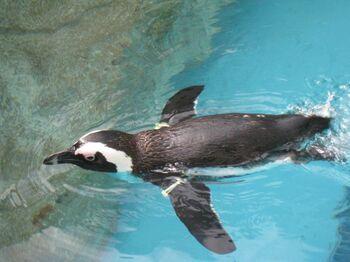 長崎のこの場所で生まれたペンギンたちを中心に、9種類180羽が飼育されている「長崎ペンギン水族館」。  国内最大級のペンギンプールを有し、愛らしいペンギンの様子が間近で観察できる、国内でも珍しい水族館です。