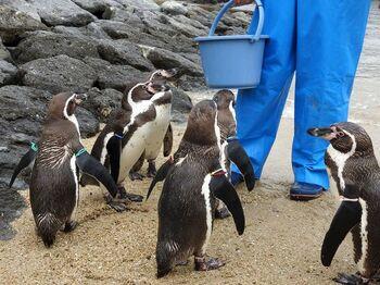 長崎ペンギン水族館のみどころのひとつが、ペンギンのエサやりです。飼育員さんがみんなに行き渡るように、上手にエサをあげていく様子は感心するばかり。