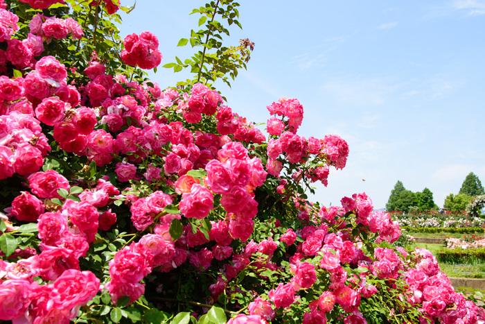 茨城県フラワーパークは、茨城県石岡市にある広大な「花」と「緑」の公園です。約30ヘクタールある敷地内には、バラ園をはじめボタン園やアジサイ園、ダリア園など様々なお花が咲き誇り、一年中美しいお花を楽しめます。