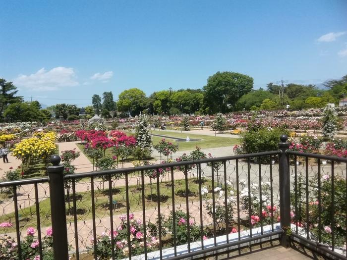 敷島公園は群馬県の前島市にある県立の公園です。陸上競技場や野球場など運動施設も敷地内にあり、大変広いです。バラ園は公園の西奥に広がっており、約600品種、7,000株程のバラが植えられています。海外を思わせる雰囲気もガーデン風で可愛らしく、人気のエリアです。