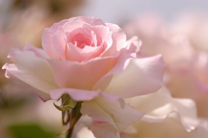 敷島公園では春と秋にバラの見ごろを迎え、それぞれバラまつりも開催されます。園内は無料で鑑賞できるため、美しい写真を撮影しようとカメラを持った方も多く訪れています。人気のあるオールドローズやイングリッシュローズをはじめ、イギリス王室や日本王室のバラや前橋で生まれた珍しいバラも鑑賞することができます。