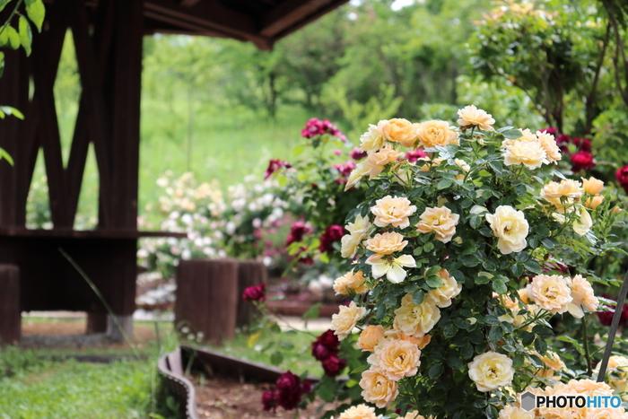 山梨県立フラワーセンター・ハイジの村はいつもお花がいっぱいで、春にはチューリップ、夏にはラベンダーなどが咲き誇ります。一番人気のある季節はやはりバラの季節で、「日本一長いバラの回廊」は230mもあります。何よりハイジの村には素敵な建物もたくさんありますので、バラとのコラボレーションを楽しんでくださいね。