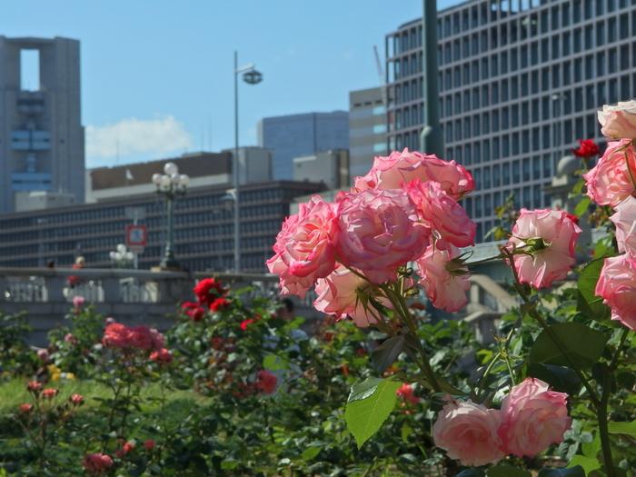 数あるバラ園の中でも、都会のビル群とバラが一緒に映る風景はあまりありません。そのため、写真好きな方や、写生を趣味とする方などが集まるバラ園でもあります。